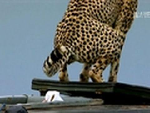Weird, True & Freaky- Cheetah Poops in Jeep