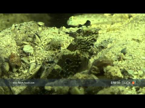 Animal roommates: The goby fish & the shrimp