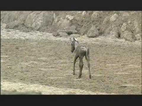 NATURE |  Kalahari: The Great Thirstland | Struggle | PBS
