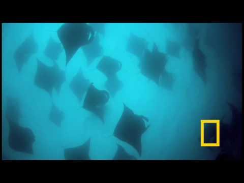 Feeding Frenzy: Manta Rays in the Maldives