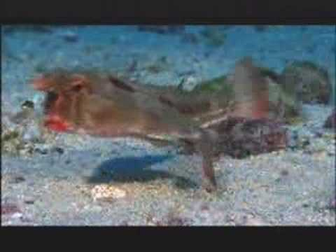 NATURE | Shark Mountain | Red-lipped Batfish | PBS