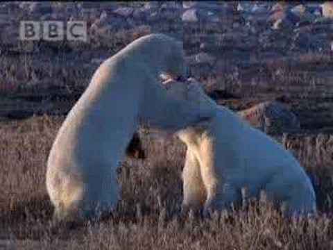 Polar bear play fight! BBC wildlife