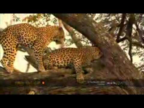 Leopards Mate in a Tree