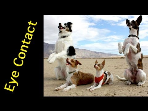 How to train a dog to pay attention - eye contact - clicker dog training
