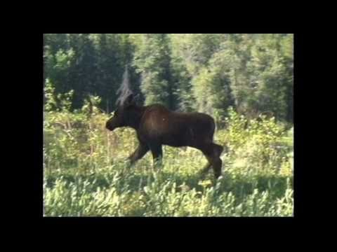 """""""Moose Tracks"""" by Brent Holmes"""