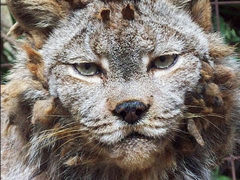 CANADIAN LYNX gets a haircut!