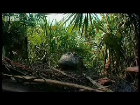 Baby Nile Crocodiles - King Croc - BBC Animals