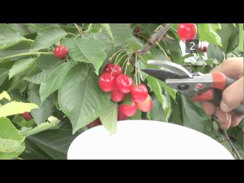 How To Harvest Cherries