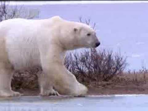 Polar bear on thin ice - BBC wildlife