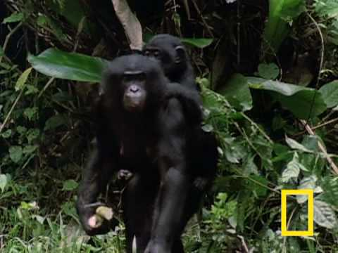 Bonobo Chimps: Girls Rule!