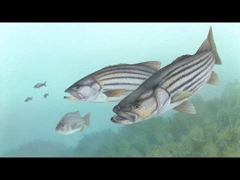 Striped Bass Decline Points to Pollution