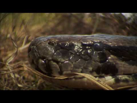 NATURE | Invasion of the Giant Pythons | Preview | PBS
