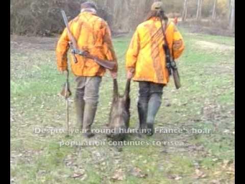 The World: Wild boar population soars in Europe