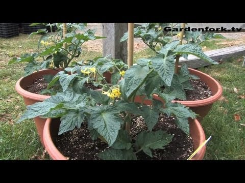 How to Grow Tomatoes at White Flower Farm