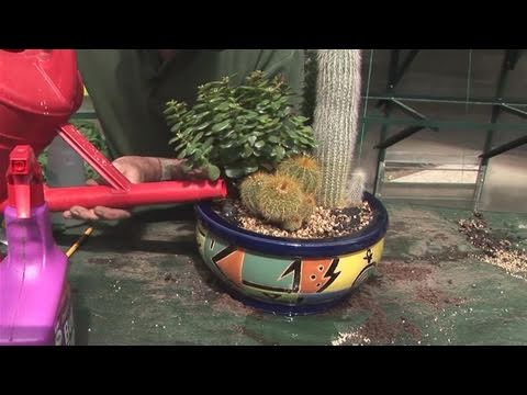 How To Fertlize Cactus