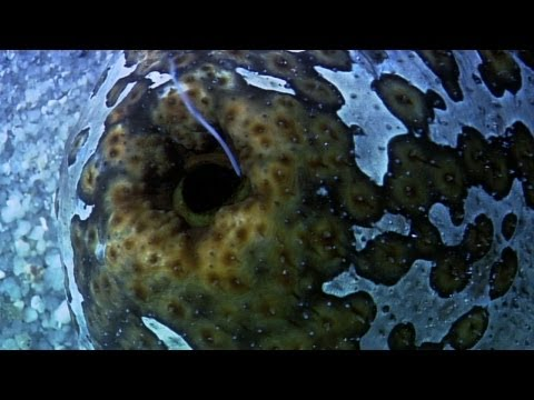 World's Weirdest - Sea Cucumber Fights with Guts (Literally)