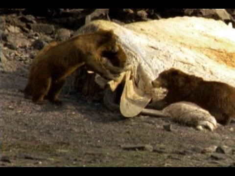 Kodiak Bears Eat Whale