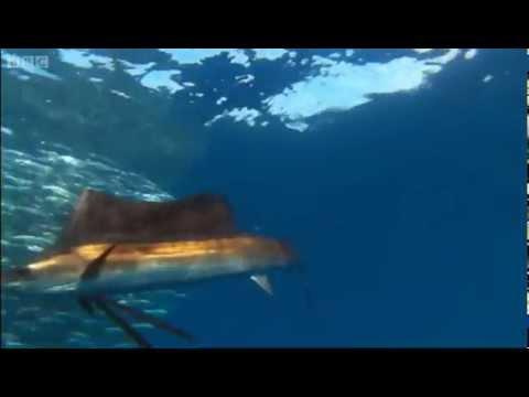 Sail Fish Hunting - Planet Earth - BBC