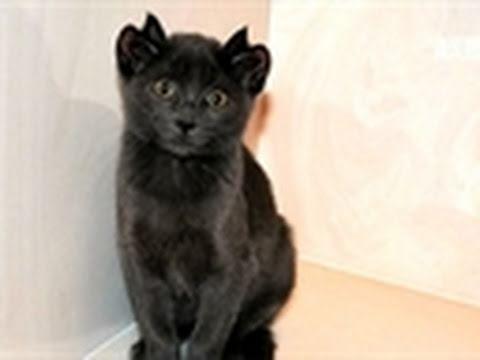 Must Love Cats- The Four-Eared Feline