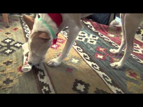 Christmas in Sweden- clicker dog training tricks