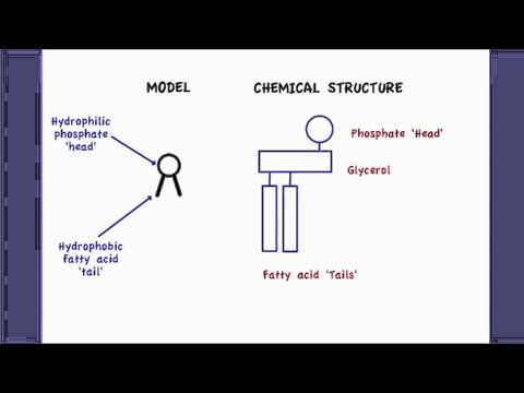 2.4.2 Explain how phospholipids maintain the structure of the cell membrane