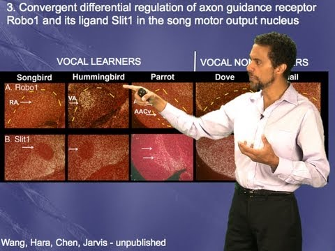Erich Jarvis (Duke/HHMI) Part 3: Genes specialized in vocal learning circuits