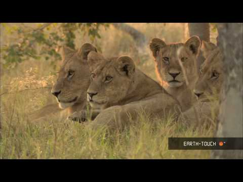 Lions of Moremi Highlights 10