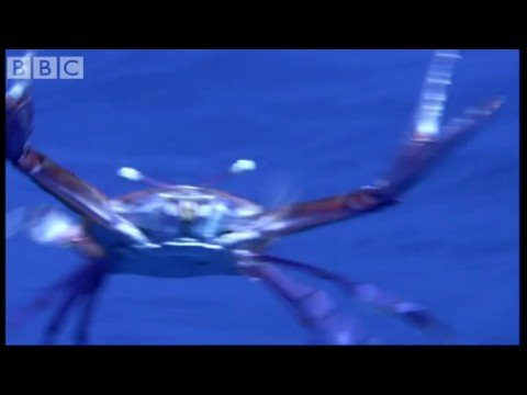 Floating Crab and Birds' Feet - Blue Planet - BBC Wildlife