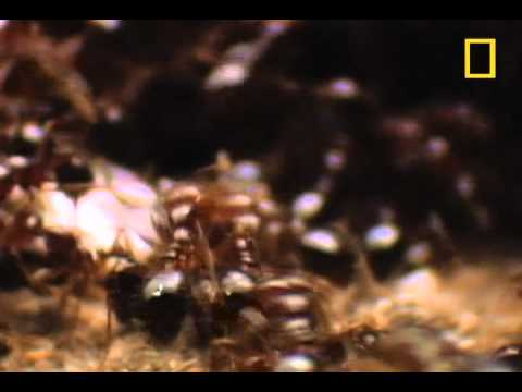 Fire Ants vs. The World