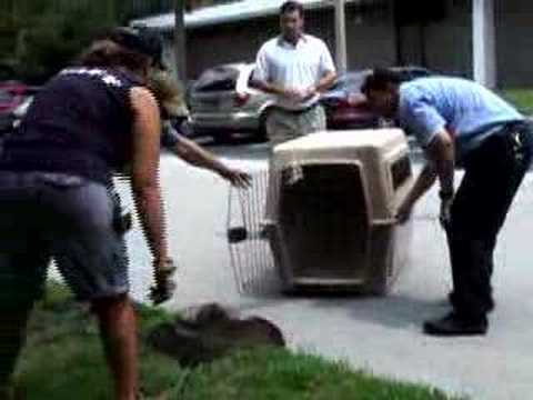 BOBCAT RESCUE! - Big Cat TV