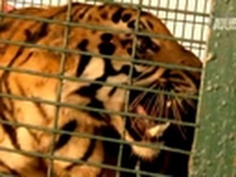 World's Deadliest Towns- Tiger Cubs Attack Village