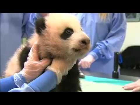 Panda Cub #4, Nov. 14, 2007