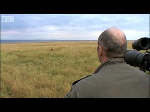 Simba Under Attack -  Big Cat Diary - BBC Earth