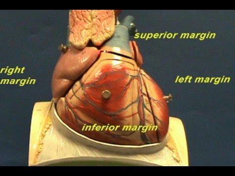 Heart Model I - Radiographic Margins