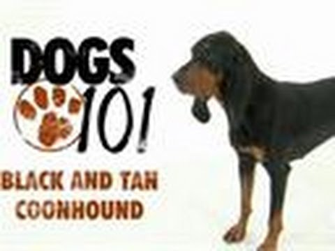 Black and Tan Coonhound | Dogs 101