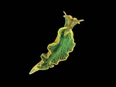 Elysia Chlorotica: A Sap-Sucking, Solar-Powered Sea Slug