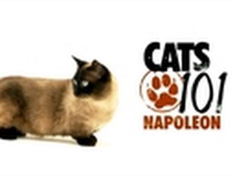 Cats 101- Napoleon