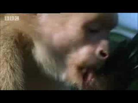 BBC: Cappucin Monkeys - Wild Caribbean