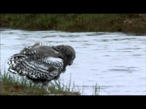 "NATURE ""Magic of the Snowy Owl"" 