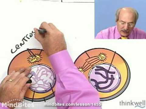 Biology: Mitosis: The Phases