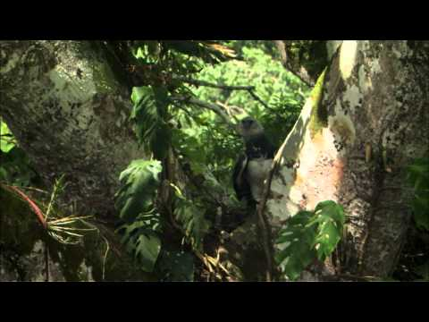 NATURE | Jungle Eagle | A Hungry Harpy | PBS