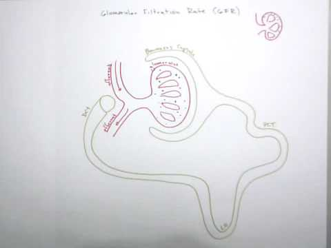 Glomerular Filtration Rate (Part 1: Why Control is So Neccessary)