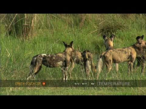 Wild dogs fight over animal carcass