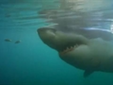 Shark Week 2011- Jaws Comes Home