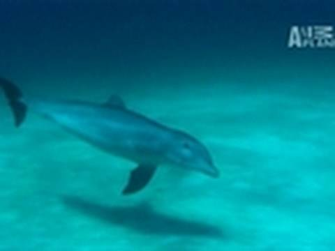 Secrets of Dolphin Aggression