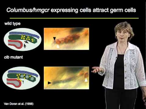 Ruth Lehmann Part 4: Lipid Signals Guide Germ Cells