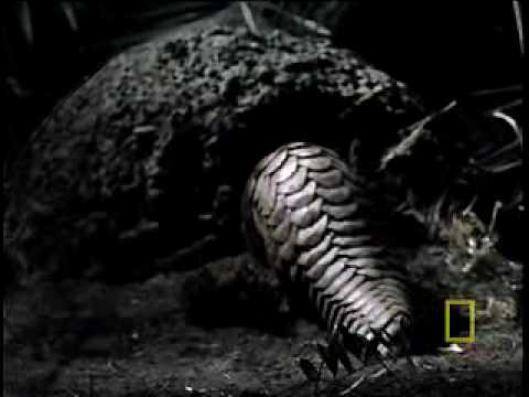 What in the World is a Pangolin?