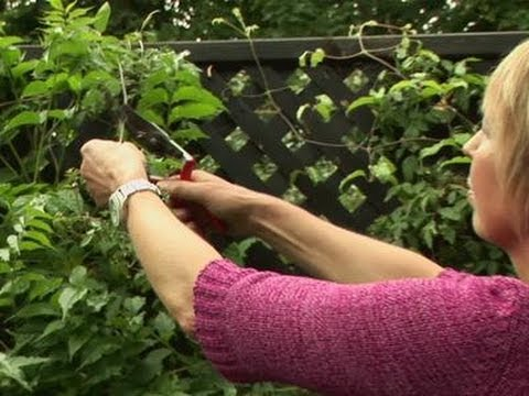 How To Grow Your Own Clematis