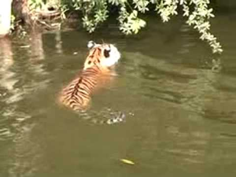 TIGER vs Lake! - Big Cat TV