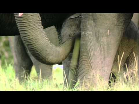 NATURE | Echo: An Elephant to Remember | Rescuing Ebony | PBS